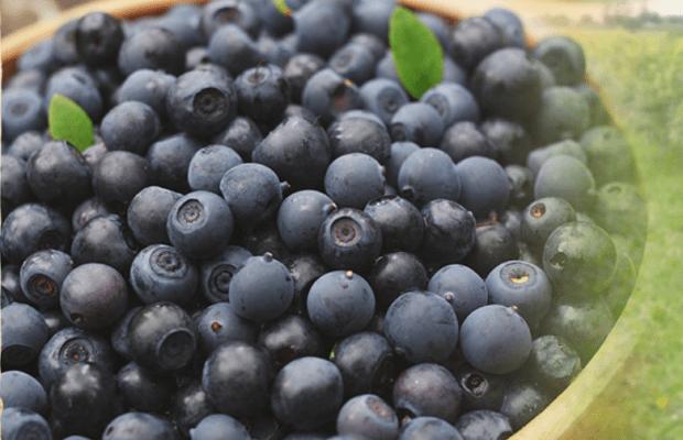世界のブルーベリーの代表的な品種と地域の特徴をご紹介